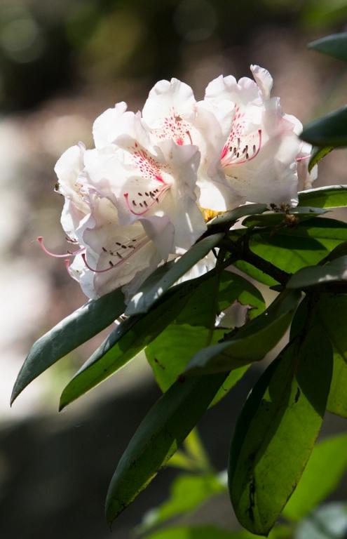Uhádněte kolik rododendronů a azalek roste v zoo ostrava