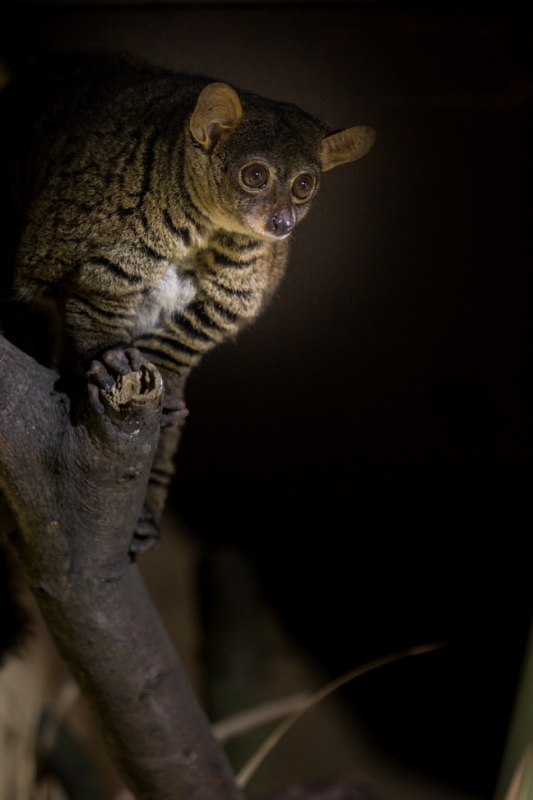 Image of: Civet The Exhibit Presents Nocturnal African Animal Species Such As Senegal Bushbaby Northern Greater Galago Southern Tree Hyrax a Small Mammal Related To Exhibits Exhibits And Animals Ostrava Zoo Exhibits Exhibits And Animals Ostrava Zoo