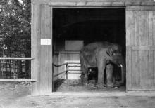 příjezd slona Petra do Ostravy, r.1965