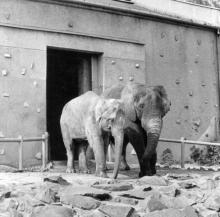 transport velbloudů pocházejících z Kazachstánu, r. 1977