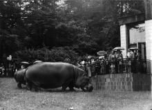 transport žiraf Rothschildových v r. 1987